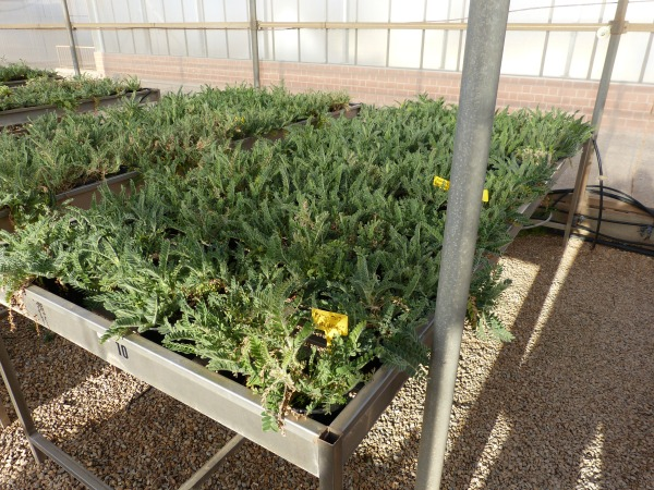 Detalle del producción de Astagalus nitidiflorus en mesas de cultivo