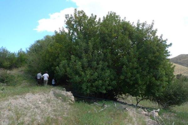 Garroferos en el paraje Finca de las Arcas (S. de Almenara)