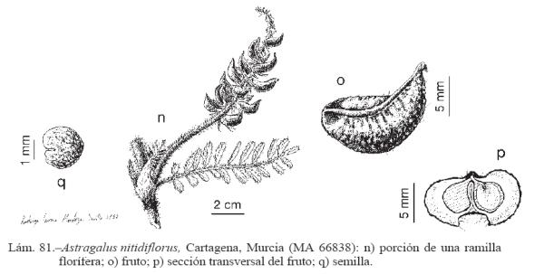 Pliego de Astragalus nitidiflorus publicado en Flora Ibérica