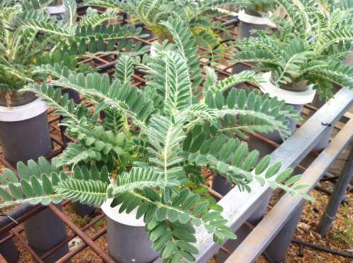 Planta de Astragalus nitidiflorus cultivada en vivero