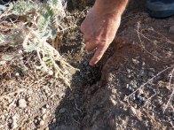 Dispersión de frutos de Astragalus nitidiflorus por conejos