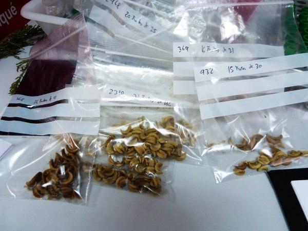 Semillas recolectadas en campo y guardadas en bolsa hermética para avitar la mezcla de frutos