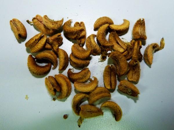 Detalle de semillas recolectadas en campo