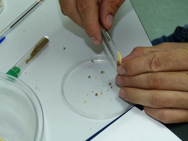 Proceso de extracción de semillas del fruto después de la cosecha en campo