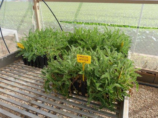 Para el mes de octubre estarán las plantas listas para ser plantadas en campo