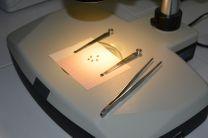 Las semillas de Astragalus nitidiflorus al microscopio. Así resulta más fácil observar su aspecto reniforme.