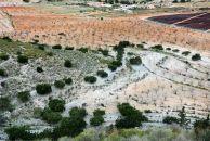 Algarrobos y almendros, representantes principales de la agricultura de secano tradicional del Campo de Cartagena