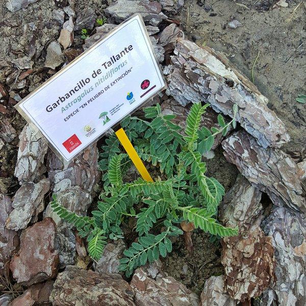 Ejemplar de garbancillo en Jardín Botanico de Murcia